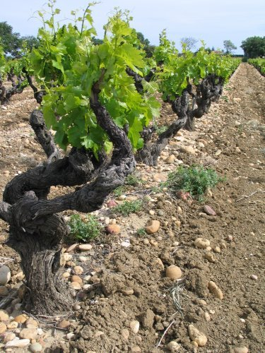 vignechateauneuf.jpg